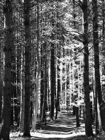 Tall Pine Trees Bordering a Forest Path by Amy & Al White & Petteway