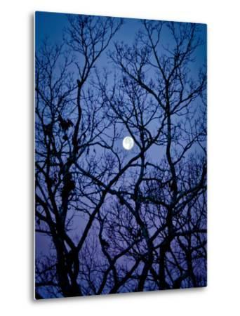 The Full Moon Peaks Between the Bare Branches of a White Oak Tree by Amy & Al White & Petteway