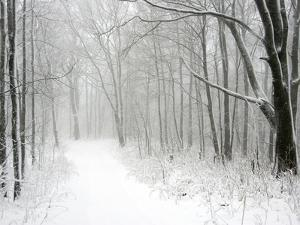 Trees Line a Snow-Covered Road Through a Forest by Amy & Al White & Petteway