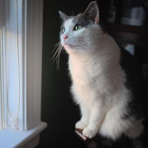 Portrait of a Pet Grey and White Tuxedo Cat Sitting by a Window at Sunset by Amy and Al White and Petteway
