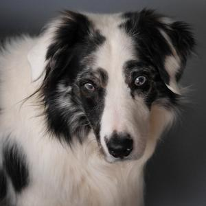 Portrait of a Sad-Looking Australian Shepherd Dog with Blue Eyes by Amy and Al White and Petteway
