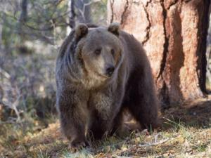 Grizzly Bear in Woods of North America by Amy And Chuck Wiley/wales