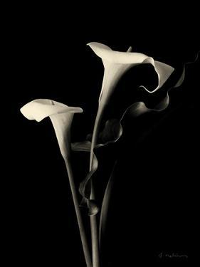 Botanical Elegance Calla III by Amy Melious