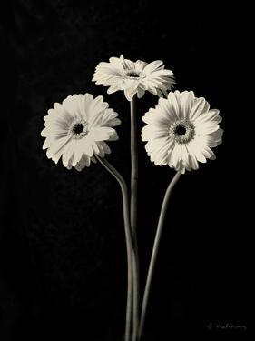 Botanical Elegance Gerbera by Amy Melious