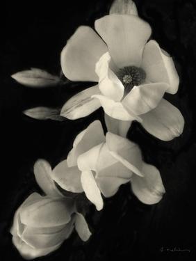Botanical Elegance Magnolia by Amy Melious