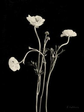 Botanical Elegance Poppies by Amy Melious