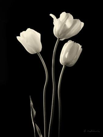 Botanical Elegance Tulips by Amy Melious