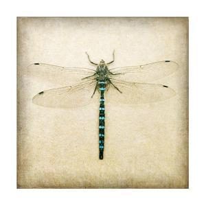 Dragonfly I by Amy Melious