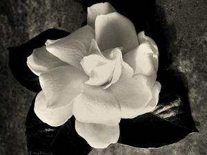 Gardenia Bloom by Amy Melious
