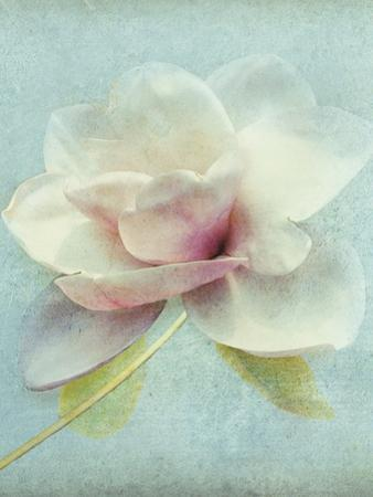 Magnolia by Amy Melious