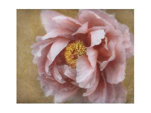 Pink Peony by Amy Melious