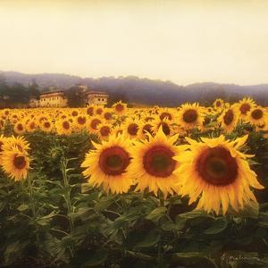 Tuscan Sunflowers by Amy Melious