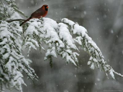 A Male Northern Cardinal Sits on a Pine Branch in Bainbridge Township, Ohio, January 24, 2007