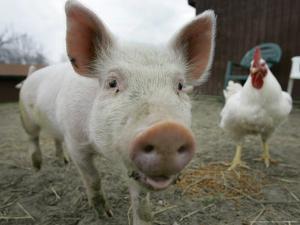 Pigs across America, Ravenna, Ohio by Amy Sancetta