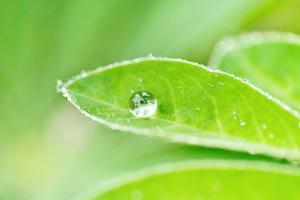 A bead of rainwater rests on the leaf of a lupine plant. by Amy White