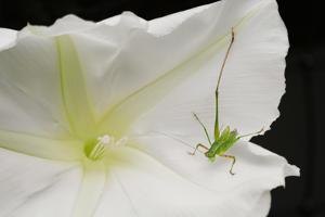 A cricket rests on a white moonflower blossom. by Amy White
