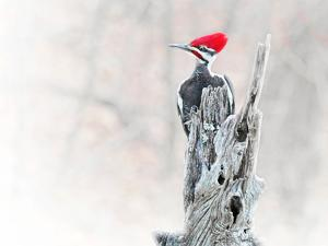 A rather annoyed looking male pileated woodpecker clings to the top of a locust tree post. by Amy White