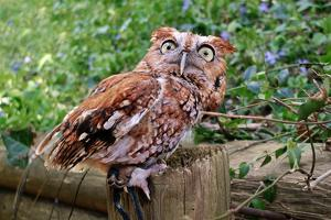 A red morph Eastern Screen Owl looks alarmed. by Amy White