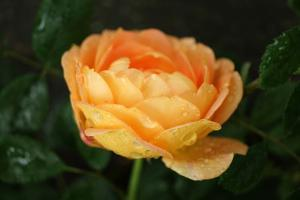An orange rose is covered in raindrops. by Amy White