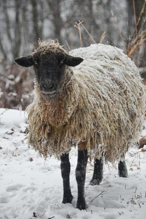 A Mixed Breed Sheep Ewe Standing in Snow by Amy White and Al Petteway