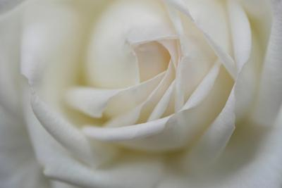 Petals unfurl from the center of a white rose. by Amy White