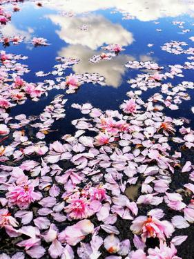 Pink cherry blossom petals lie in a water puddle that reflects white clouds in a blue sky. by Amy White