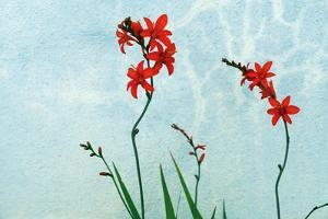 Red crocosmos blossoms glow bright against a faded, cracked stucco wall. by Amy White