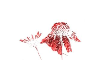 Red, snow-covered Echinacea blossoms pop against a bright white background. by Amy White