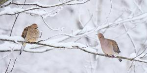Two mourning doves rest on a tree branch in snow. by Amy White