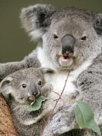 An 8-Month-Old Koala Joey