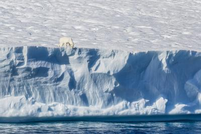https://imgc.allpostersimages.com/img/posters/an-adult-polar-bear-ursus-maritimus-on-the-edge-of-a-huge-iceberg-in-arctic-harbour_u-L-PQ8OIN0.jpg?p=0