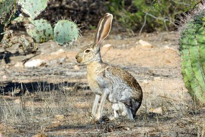 https://imgc.allpostersimages.com/img/posters/an-antelope-jackrabbit-lepus-alleni-alert-for-danger_u-L-PYQT5Z0.jpg?p=0
