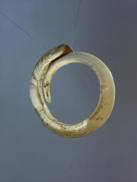 An Arm Band Made from a Boar Tusk