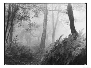 An Eerie Misty Wood with Ferns Near Esher Common Surrey England