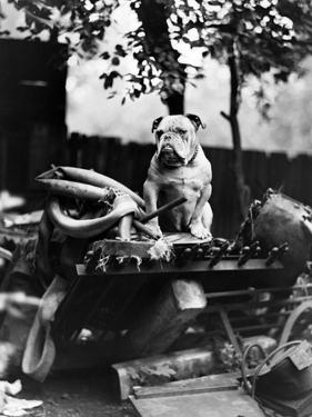 An English Bulldog Perches on a Junk Pile, Ca. 1930
