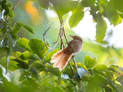 https://imgc.allpostersimages.com/img/posters/an-orange-breasted-thornbird-perches-on-a-tree-branch-in-the-atlantic-rainforest_u-L-Q135UX40.jpg?p=0