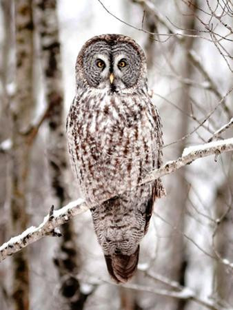 Great Grey Owl in Minnesota by Analiese Miller
