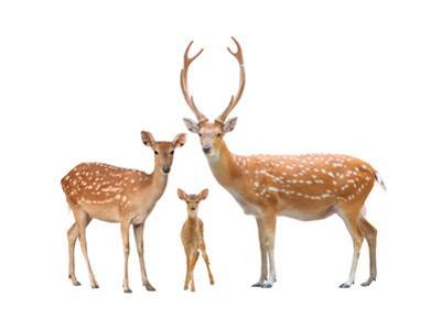Beautiful Sika Deer by Anan Kaewkhammul