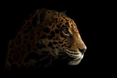 Jaguar ( Panthera Onca ) in the Dark by Anan Kaewkhammul