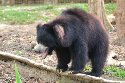 Sloth Bear by Anan Kaewkhammul