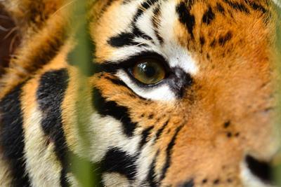 Tiger Eye by Anan Kaewkhammul