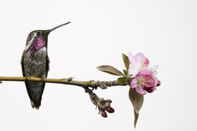 A Hybrid Male Costa's Hummingbird and Anna's Hummingbird Perches on a Tree Branch