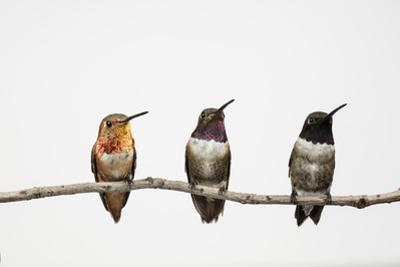 A Male Hybrid Between a Black-Chinned Hummingbird and an Allen's Hummingbird
