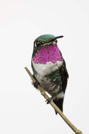 A Male White-Bellied Woodstar, Chaetocercus Mulsant, Hummingbird Perches on a Tree Branch
