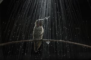 An Anna's Hummingbird, Calypte Anna, Perches on a Tree Branch under Simulated Rain by Anand Varma