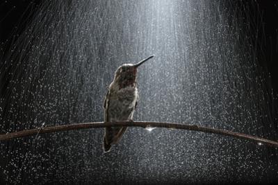 An Anna's Hummingbird, Calypte Anna, Perches under Simulated Rain