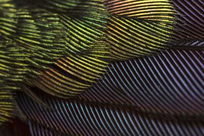 Close Up of the Iridescent Tail of a Male Tyrian Metaltail Hummingbird, Metallura Tyrianthina