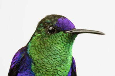 Portrait of a Male Violetcrowned Woodnymph, Thalurania Columbica, Hummingbird