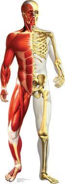 Anatomy Half Muscle Half Skeleton Lifesize Cardboard Cutout