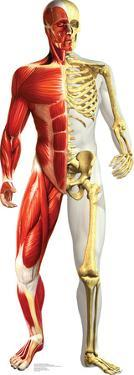 Anatomy Half Muscle Half Skeleton Lifesize Standup